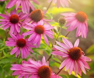 This image it is about Echinacea, how do I use my home-grown plants?