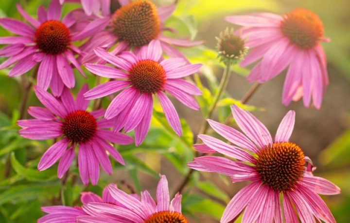 Echinacea, how do I use my home-grown plants