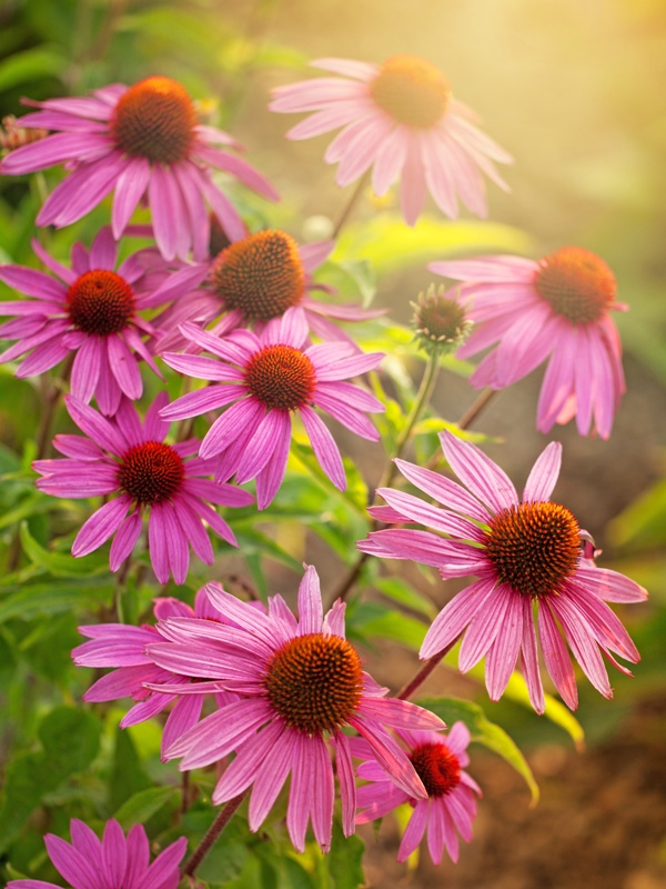 Echinacea, how do I use my home-grown plants