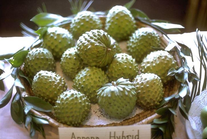 First uncommon exotic fruit - The atemoya