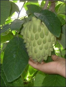 Third uncommon exotic fruit - The Cherimoya