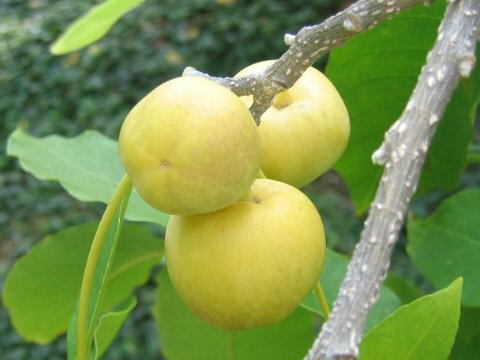 Fifth uncommon exotic fruit - The White Sapote