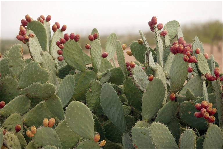Second uncommon exotic fruit - The Cactus Pear