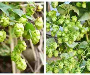 Hop cones insomnia nervous disorders