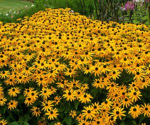 This image it is about Seeing Black-Eyed Susan