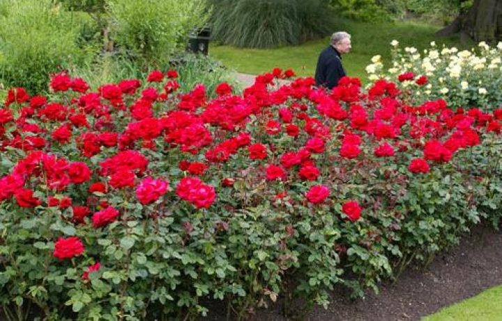 Some Unusual Rose Conditions 2
