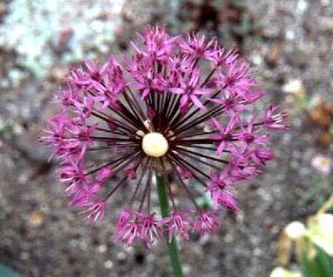 Allium Species - Ornamental Onions