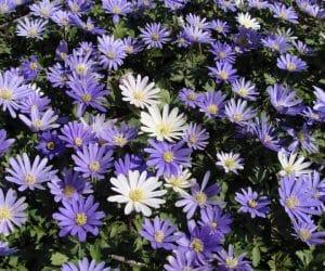 Anemone blanda - Grecian Windflower