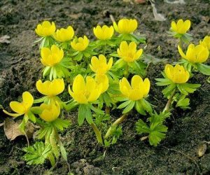 Eranthis hyemalis - Winter Aconite