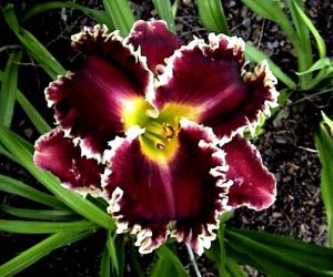 This image it is about Hemerocallis Headaches