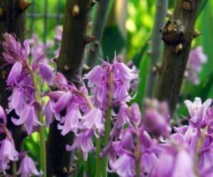 Hyacinthoides hispanicus - Spanish Bluebells