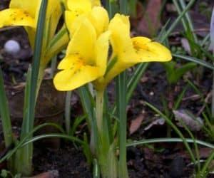 Iris danfordiae - Danford Iris
