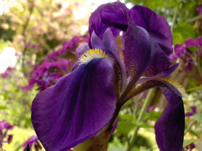 Bearded Iris: Iris germanica 1