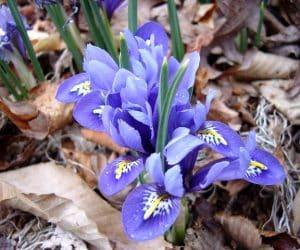 Iris reticulata - Netted Iris