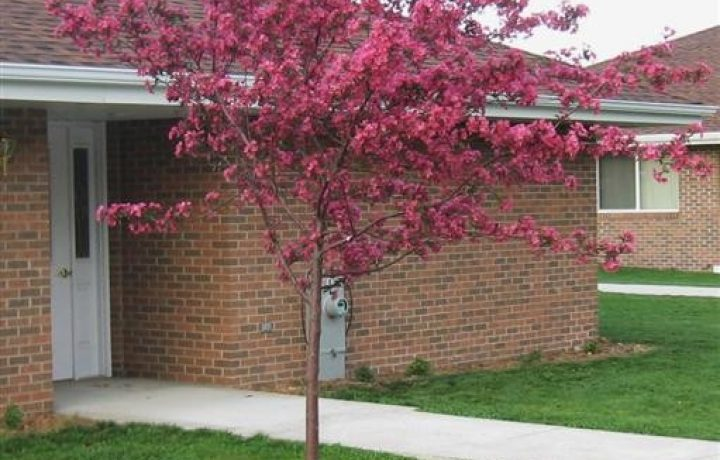 Outstanding Crabapple Cultivars for Maryland 4