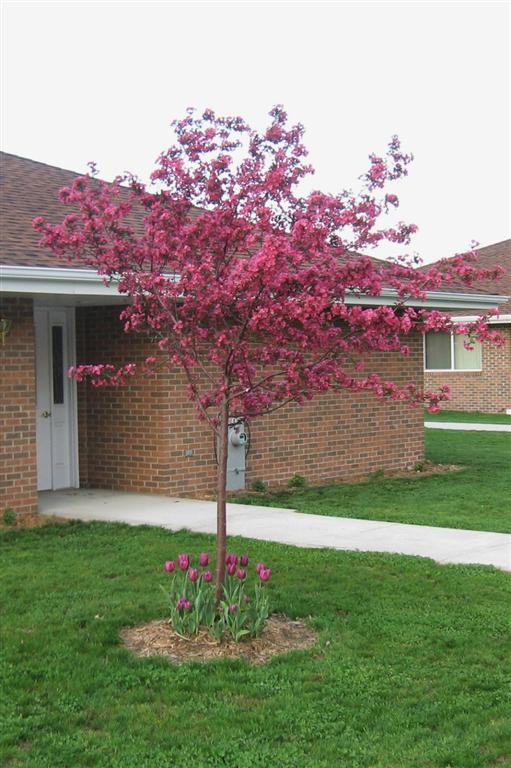 Outstanding Crabapple Cultivars for Maryland Molten Lava