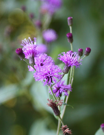 New York ironweed plant