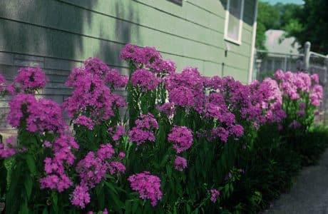 Perennial Garden Phlox - P. paniculata