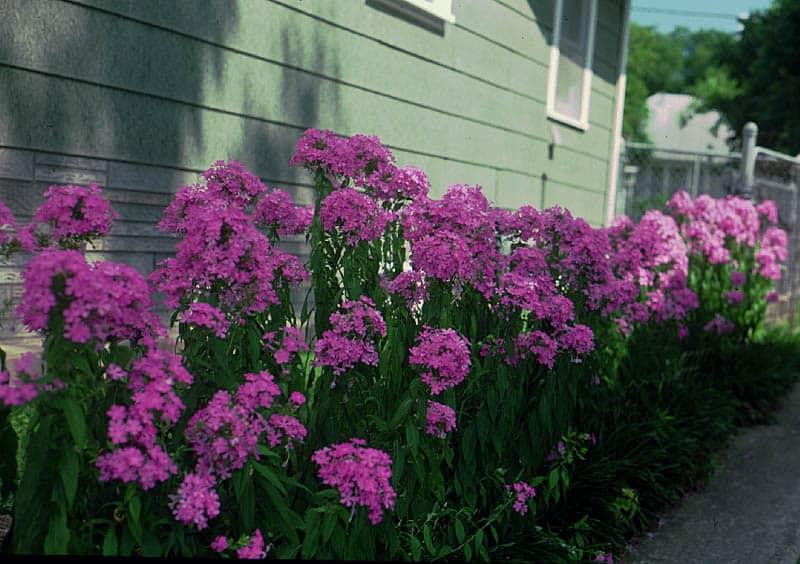 Perennial Garden Phlox (P. paniculata)