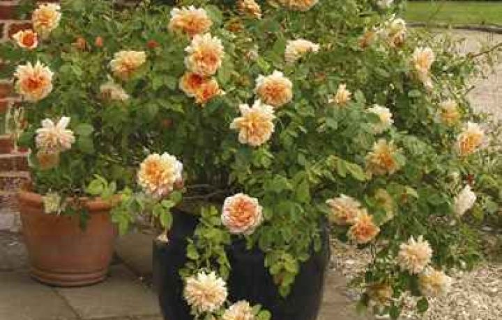 Growing Roses in Containers 2