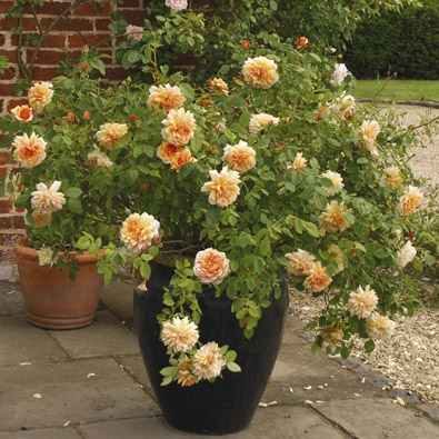 Growing Roses in Containers 3