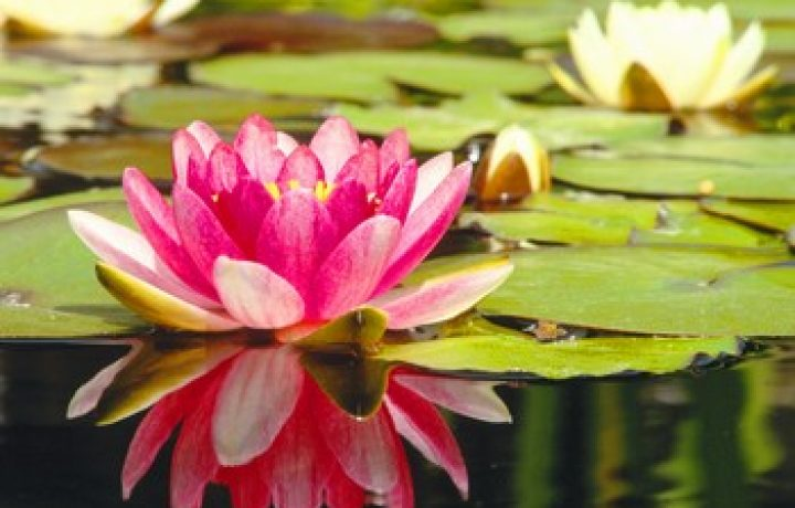 Water Lilies: What's in a Name 2