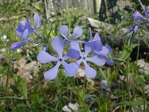 Wild Blue Phlox wildflowers - Phlox divaricata