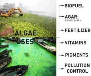 algae uses
