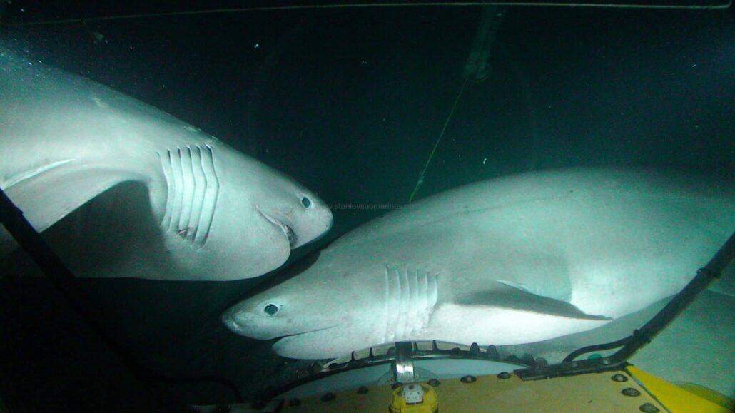Sixgill shark or hexanchus griseus