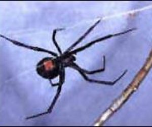 This image it is about Black Widow Spiders