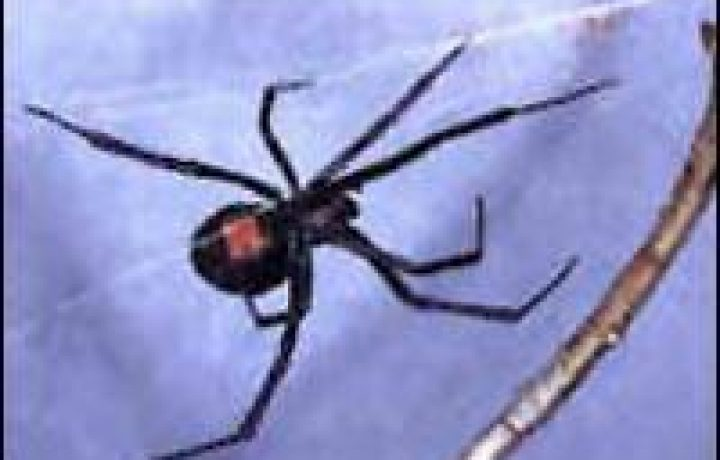 Black Widow Spiders 2