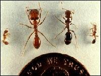 fire ants compare