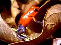 Turning to poison-dart frogs to save lives 5