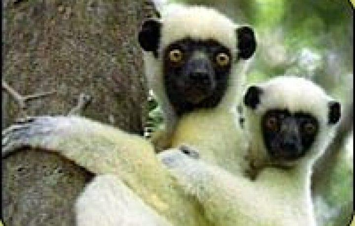 Leapin' lemurs! 2