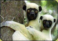 Leapin' lemurs! 1