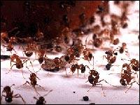 Fire ants under attack by phorid flies