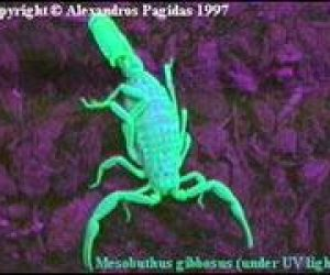 Imaginea thumbnail despre Scorpions hunting, stinging and killing beings