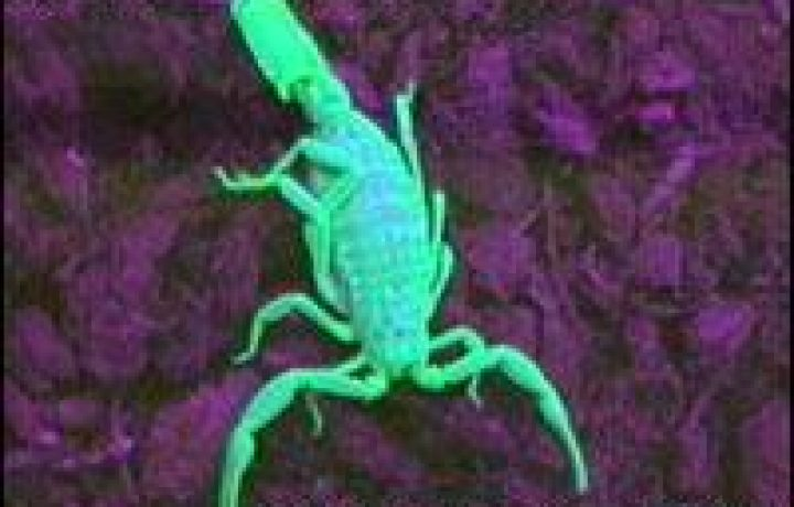 Scorpions hunting, stinging and killing beings 2