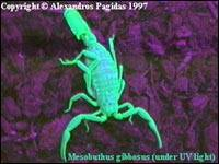 Scorpions hunting, stinging and killing beings 6