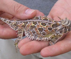 This image it is about The survival tactics of horned lizards