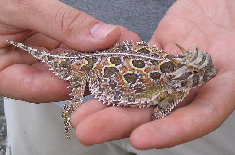 The survival tactics of horned lizards 3