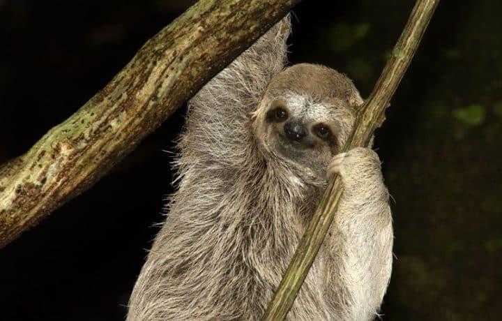 South American sloth
