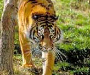 Imaginea thumbnail despre Sumatran Tiger