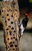 Woodpecker Drumming 3