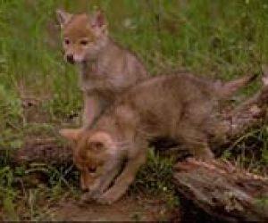 Imaginea thumbnail despre The secret to the coyote's success