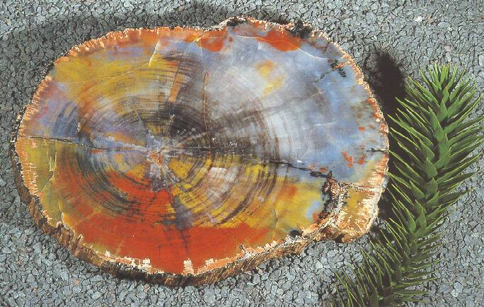 Petrified Wood - how the trees turned to stone 3