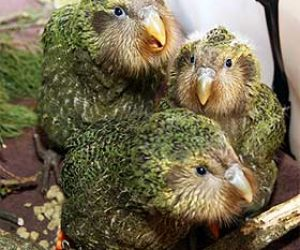 This image it is about Nosy Birds or the kakapo parrot