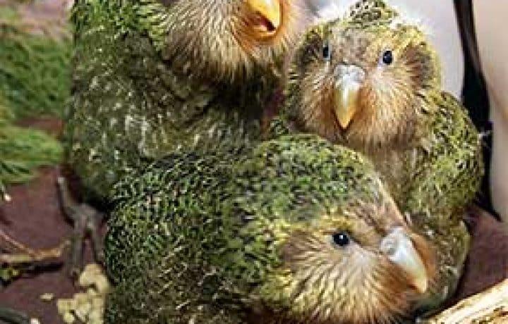 Nosy Birds or the kakapo parrot 2