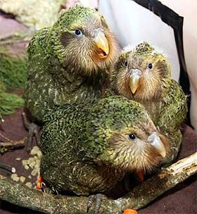 Kakapo - nosy birds