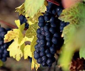 Aglianico grapes of italian wines